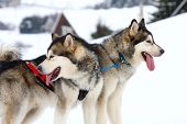 foto of sled  - two of sled dogs running through lonely winter landscape - JPG