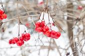 pic of rowan berry  - Red rowan mountain ash berries with fresh snow winter background - JPG