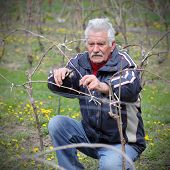 picture of prunes  - Senior man pruning grape in vineyard active retirement selective focus on face - JPG