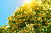picture of lime-blossom  - Blooming linden branches on sky with sun - JPG