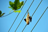 image of dead-line  - dead dried big bat on the power line - JPG