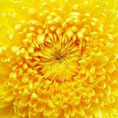 picture of chrysanthemum  - Beautiful yellow chrysanthemum flower close up - JPG