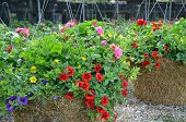 stock photo of petunia  - Colorful little petunia flower hanging baskets at garden nursery - JPG