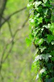 stock photo of ivy vine  - Ivy growing up the side of a tree - JPG