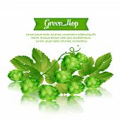 foto of hop-plant  - illustration with sprigs of fresh green hops isolated - JPG