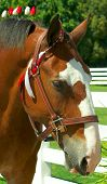 foto of clydesdale  - head portrait of horse  - JPG