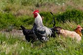 picture of roosters  - Rooster and Chickens - JPG