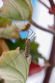 picture of mosquito  - Forest mosquito macro - JPG