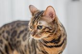 stock photo of bengal cat  - beautiful Bengal cat looking into the distance - JPG