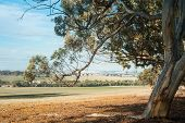 stock photo of eucalyptus trees  - Dry Western Australian farmland under bright blue cloudy sky framed by overhanging bough of wandoo  - JPG