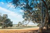 pic of eucalyptus trees  - Dry Western Australian farmland under bright blue cloudy sky framed by overhanging bough of wandoo  - JPG