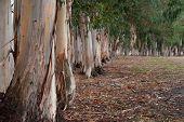 stock photo of row trees  - Curved row of striped trunks of Tasmanian Bluegum trees in windbreak - JPG