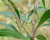 stock photo of jungle snake  - Green snake on tree close up shot - JPG