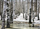 stock photo of spring-weather  - Birch grove in early spring water in sunny weather - JPG