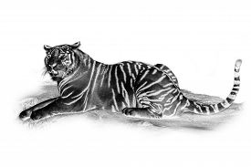 stock photo of inverted  - Black and white portrait of White tiger - JPG