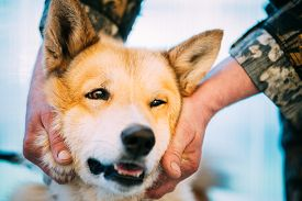 foto of laika  - West Siberian Laika is a breed of hunting dog - JPG