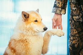 image of laika  - West Siberian Laika is a breed of hunting dog - JPG
