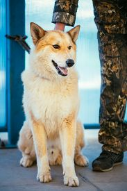 picture of laika  - West Siberian Laika is a breed of hunting dog - JPG