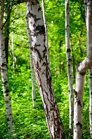 picture of birchwood  - Natural background  - JPG