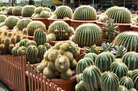 pic of spiky plants  - Cactus garden with multiple cactus plant in pots - JPG