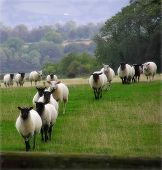 pic of counting sheep  - Sheep on the landscape taken in Somerset England - JPG