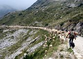picture of counting sheep  - flock of sheep grazing in the mountains with shepherd - JPG
