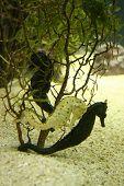 foto of under sea  - 2 sea horses hiding behind under water plants - JPG