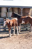 stock photo of clydesdale  - A Clydesdale mare and foal standing in a barn lot - JPG