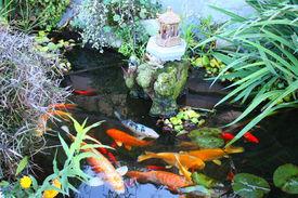 foto of koi fish  - Japanese lily pad spiritual garden with lush plants - JPG