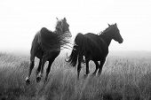 picture of running horse  - Wild horses on the plateau near Crystal Springs - JPG