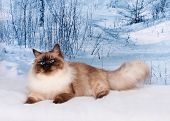 Siberian Cat On Winter Nature In Snow poster