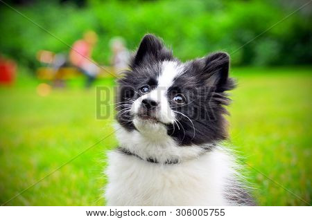 poster of Cute Puppy Of Papillon Dog Breed In Summer Park. Portrait Of Lovely Papillon Puppy Playing With Dogs
