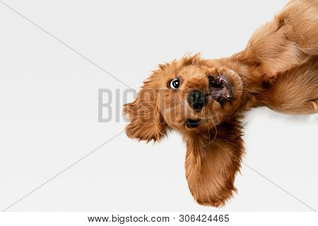 poster of Pure Youth Crazy. English Cocker Spaniel Young Dog Is Posing. Cute Playful White-braun Doggy Or Pet