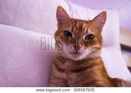 poster of Red Cat Looks Into The Camera. Pictures Of Cats, Cat Eyes. Russian Cat With Butterfly On White Backg