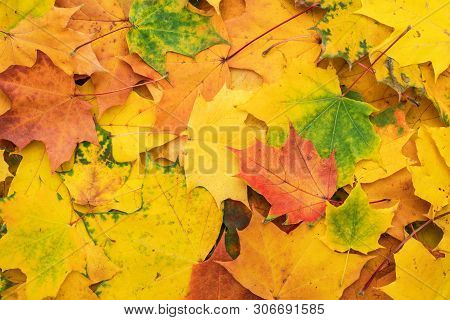 poster of Colorful Autumn Leaves. Fallen Autumn Leaves Seasonal Concept. Background Made Of Autumn Leaves. Hor