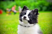 Cute Puppy Of Papillon Dog Breed In Summer Park. Portrait Of Lovely Papillon Puppy Playing With Dogs poster