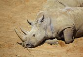 White Rhino Resting In The Sun