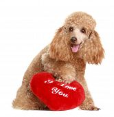 stock photo of avow  - Apricot poodle with valentine gift - JPG
