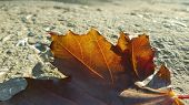 Jagged Edge Of Brown Dry Maple Leaf In Sunlight On Textured Concrete Surface. Single Fall Leaf Close poster