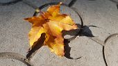 Bright Orange Color Fall Leaf Closeup. Maple Leaf In Sunlight. Natural Fall Leaves Background. Beaut poster