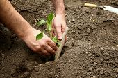 Mans Hands Planted A Young Plant Of Pepper In The Ground. Planting Pepper Seedlings. poster