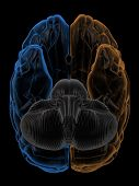 image of temporal lobe  - 3D Rendering  of the two Hemispheres of the brain bottom view - JPG