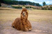 Big brown hairy alpaca sitting in field on background of peruvian mountains poster