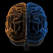 picture of temporal lobe  - 3D Rendering  of the two Hemispheres of the brain back view - JPG