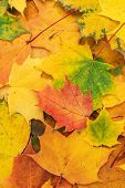 Colorful Autumn Leaves. Fallen Autumn Leaves Seasonal Concept. Background Made Of Autumn Leaves. Ver poster