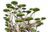 Tako Trees Bending.isolated Tree On White Background ,bending Trees Database Botanical Garden Organi poster