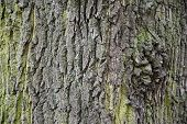Rough Dark Wood Bark Texture With Deep Cracks And Green Moss. Old Tree Bark Surface Closeup. Weather poster