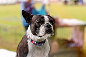 Close Up Of A Young Purebred Bulldog Being Judged At A Country Show poster
