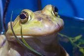 Yellow Frog Eyes Bullfrog Wild Amphibian Animal poster