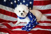 Pure Breed Bichon Frise with an American Flag. Forth of July with a small white dog. Mans best frien poster